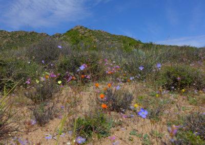 Blumen im Namaqua National Park